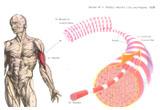 Видове мускулни влакна